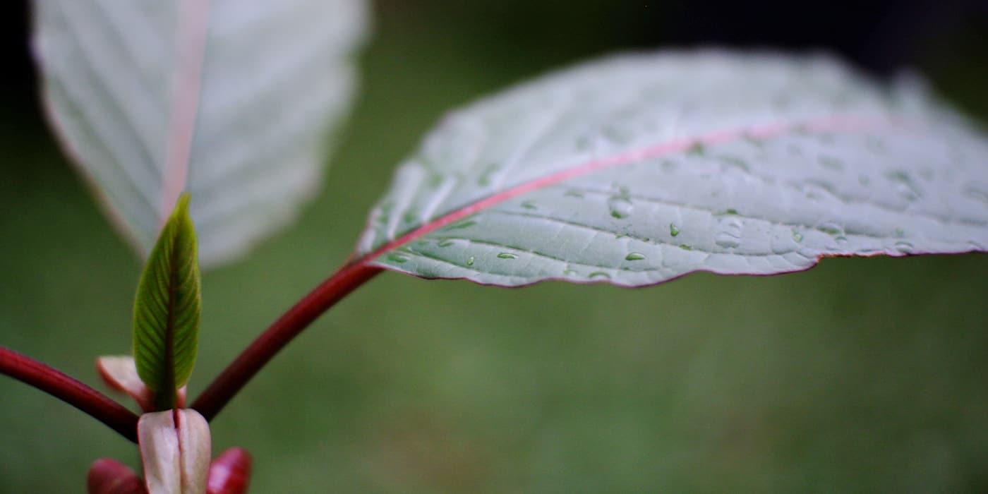 Best Kratom Supplier Indonesia - Kratom leaf